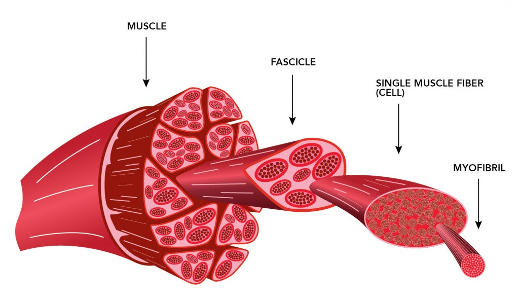 'Bodybuilder' Muscle Vs. 'Strength' Muscle