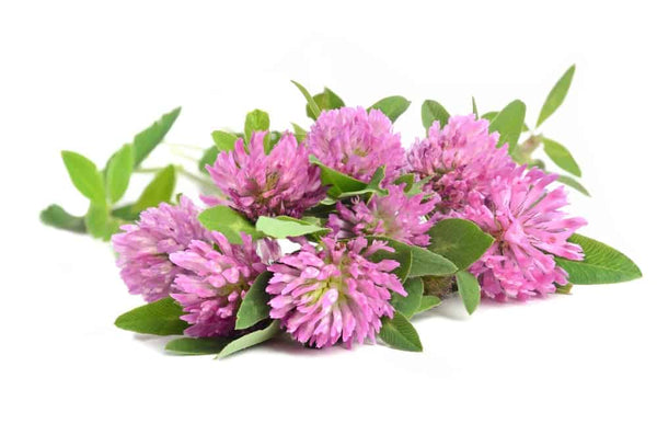 Red Clover contains isoflavones to fight estrogen menopause symptoms like hot flashes