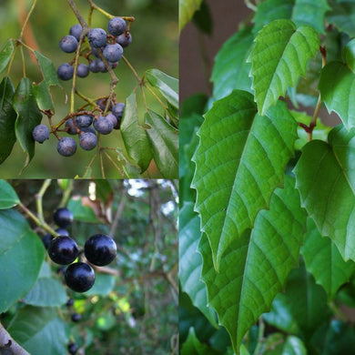 KANGAROO VINE / NATIVE GRAPE (Cissus Antartica) SEEDS 'Bush Tucker Plant'