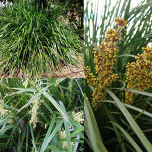 SPINY HEADED MAT RUSH (Lomandra longifolia) SEEDS 'Bush Tucker Plant'