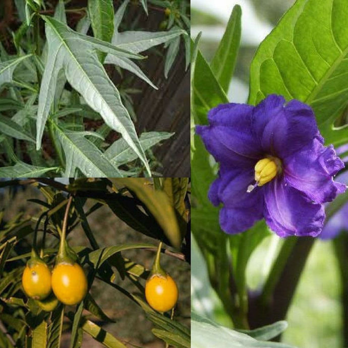 SOUTHERN KANGAROO APPLE (Solanum laciniatum) SEEDS 'Bush Tucker Plant'