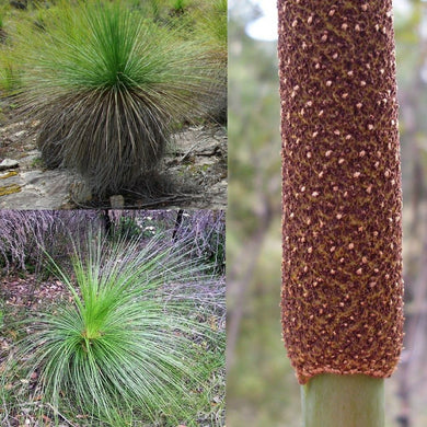 DWARF GRASS TREE (Xanthorrhoea Resinosa) SEEDS 'Bush Tucker Plant'