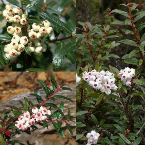 TASMANIAN SNOW BERRY (Gaultheria hispida) SEEDS 'Bush Tucker Plant'
