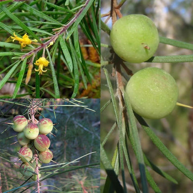 NARROW-LEAVED GEEBUNG (Persoonia linearis) SEEDS 'Bush Tucker Plant'