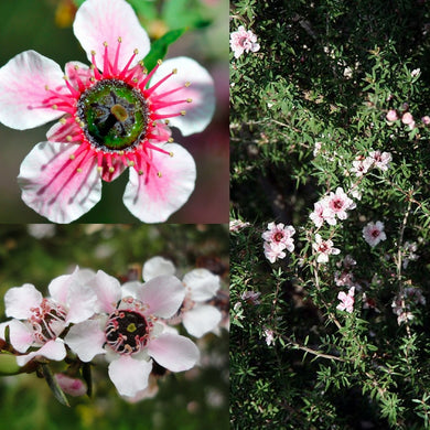 MANUKA MYRTLE (Leptospermum scoparium) SEEDS 'Bush Tucker Plant'