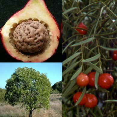DESERT QUANDONG 'NATIVE PEACH' (Santalum acuminatum) SEEDS 'Bush Tucker Plant'