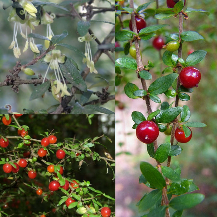 PRICKLY CURRANT BUSH (Coprosma quadrifida) SEEDS 'Bush Tucker Plant'