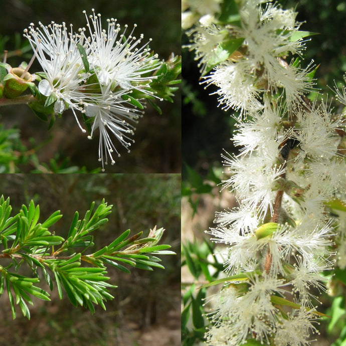 WHITE KUNZEA 'TICK BUSH' (Kunzea ambigua) SEEDS 'Bush Tucker Plant'