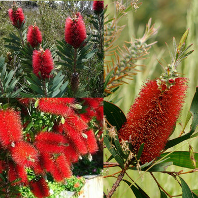 ALBANY BOTTLEBRUSH (Callistemon Glaucus) SEEDS 'Bush Tucker Plant'
