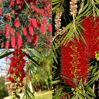 RED WEEPING BOTTLEBRUSH (Callistemon Viminalis) SEEDS 'Bush Tucker Plant'