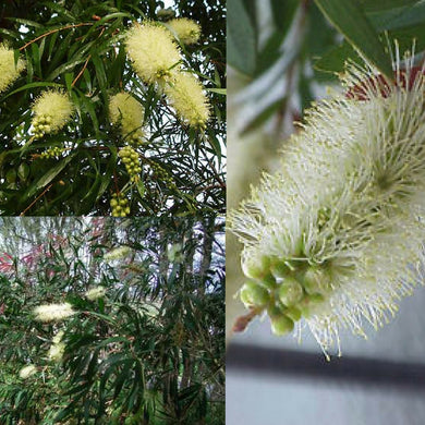 WHITE WILLOW BOTTLEBRUSH (Callistemon Salignus) SEEDS 'Bush Tucker Plant'