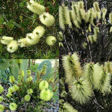 GREEN BOTTLEBRUSH (Callistemon Viridiflorus) SEEDS 'Bush Tucker Plant'