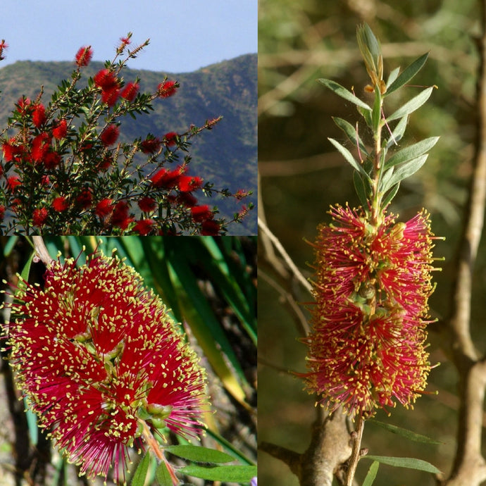 SCARLET BOTTLEBRUSH (Callistemon Rugulosus) SEEDS 'Bush Tucker Plant'
