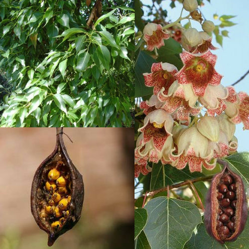 KURRAJONG BOTTLE TREE (Brachychiton populneus) SEEDS 'Bush Tucker Plant'