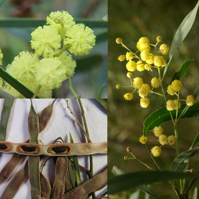 SWAMP WATTLE 'WIRILDA' (Acacia retinodes) SEEDS 'Bush Tucker Plant'
