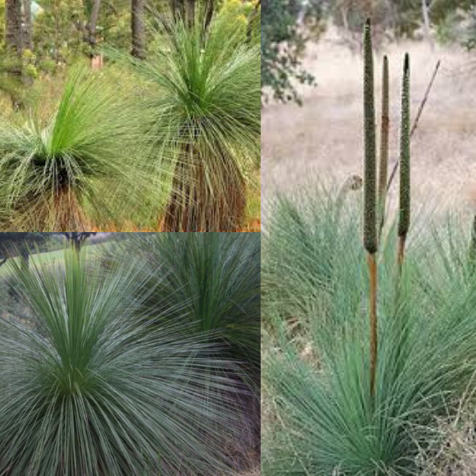 'BALGA' GRASS TREE (Xanthorrhoea Preissii) SEEDS 'Bush Tucker Plant'