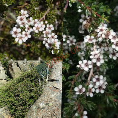 ALPINE TEA-TREE (Leptospermum rupestre) SEEDS 'Bush Tucker Plant'