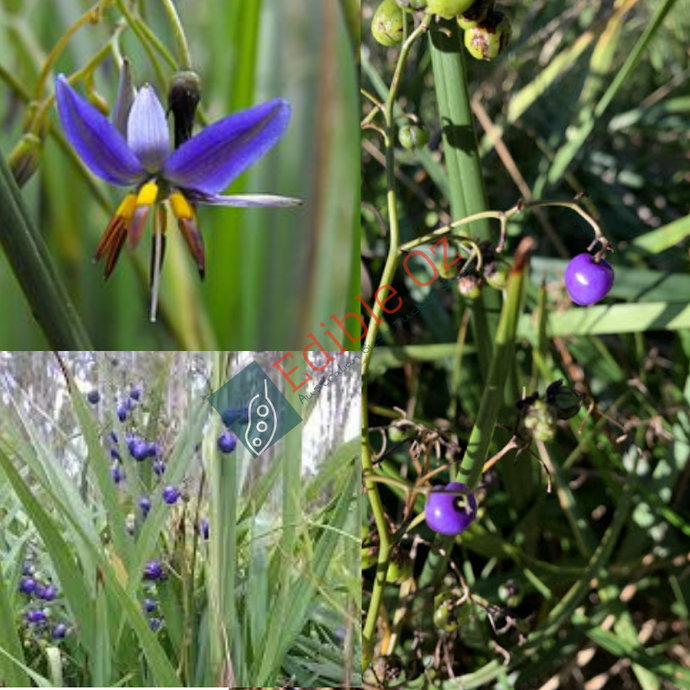 BLACK ANTHER FLAX-LILY (Dianella revoluta) SEEDS 'Bush Tucker Plant'