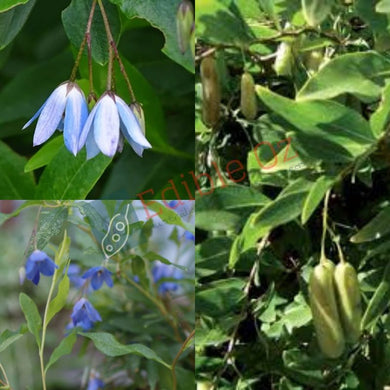 BLUEBELL CREEPER (Billardiera heterophylla) SEEDS 'Bush Tucker Plant'
