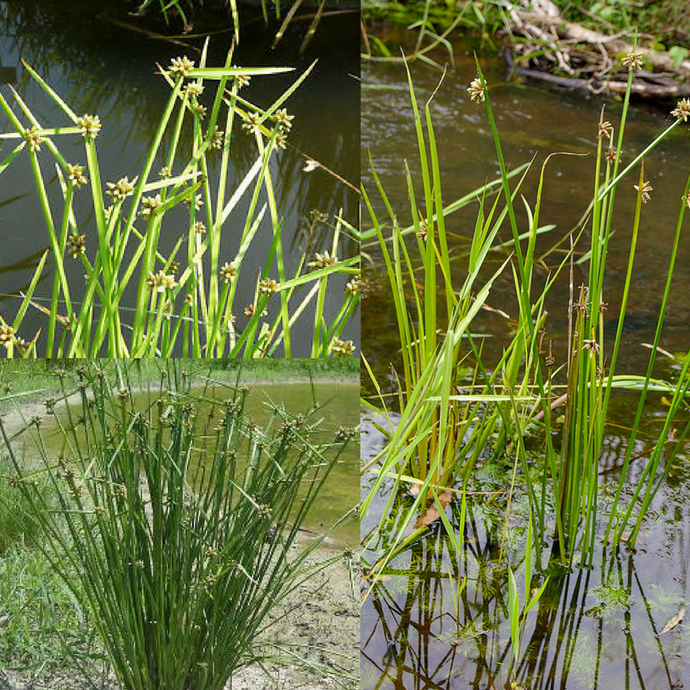 ROUGH SEED / BOG BULRUSH (Schoenoplectus mucronatus) Seeds 'Bush Tucker Plant'