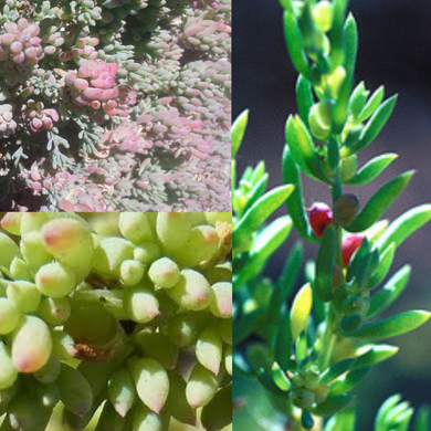 COAST BONEFRUIT 'Wallaby Saltbush' (Threlkeldia diffusa) SEEDS 'Bush Tucker Plant'