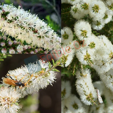 BRACELET HONEY-MYRTLE (Melaleuca armillaris) SEEDS 'Bush Tucker Plant'