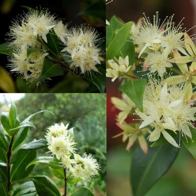 CINNAMON MYRTLE (Backhousia myrtifolia) SEEDS 'Bush Tucker Plant'