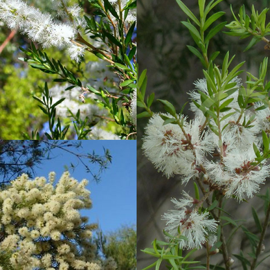 WHITE FEATHER HONEY-MYRTLE (Melaleuca Decora) Seeds 'Bush Tucker Plant'