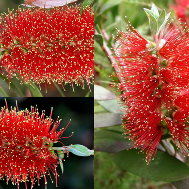 GOLD-TIPPED BOTTLEBRUSH (Callistemon polandii) SEEDS 'Bush Tucker Plant'