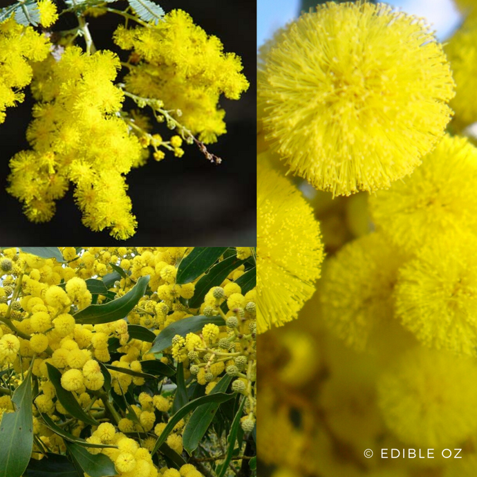 GOLDEN WATTLE (Acacia pycnantha) SEEDS 'Bush Tucker Plant