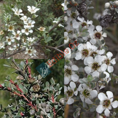 MYRTLE / GREY TEA-TREE (Leptospermum myrtifolium) SEEDS 'Bush Tucker Plant'