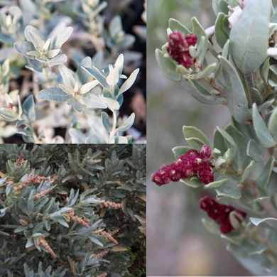 GREY SALTBUSH (Atriplex cinerea) SEEDS 'Bush Tucker Plant'
