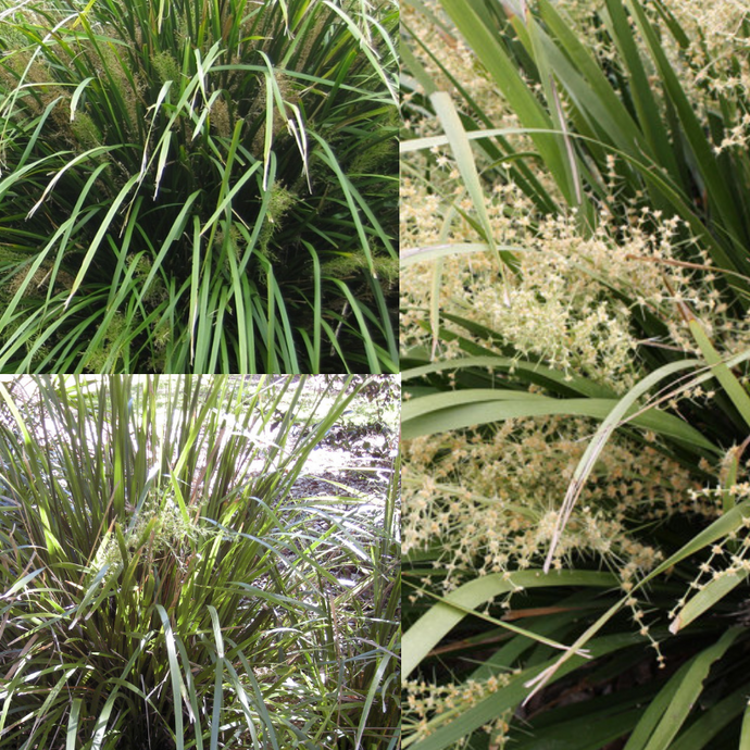CREEK MAT RUSH (Lomandra hystrix) SEEDS 'Bush Tucker Plant'
