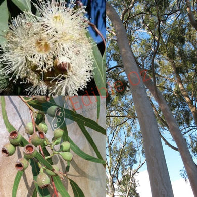 LEMON SCENTED GUM (Corymbia Citriodora) SEEDS 'Bush Tucker Plant'
