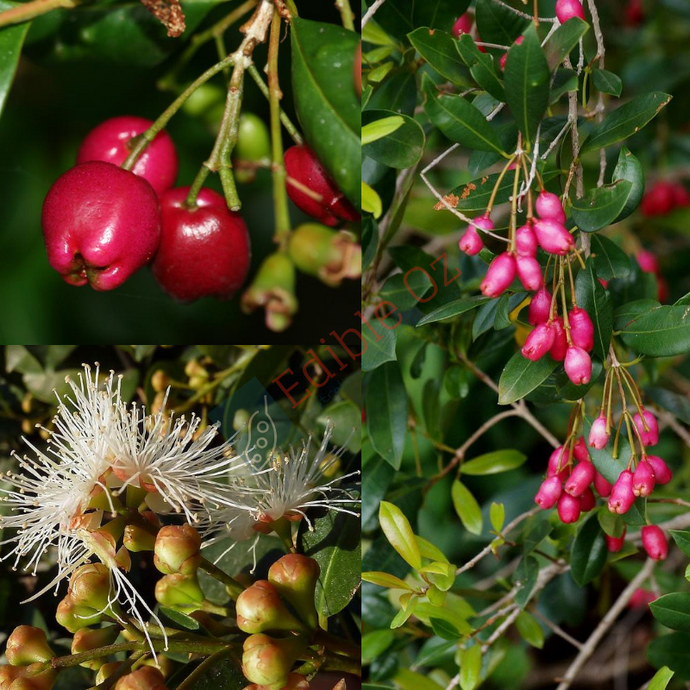 BRUSH CHERRY 'LILLY PILLY' (Syzygium australe) SEEDS 'Bush Tucker Plant'