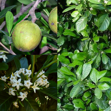 NATIVE GARDENIA 'YELLOW MANGOSTEEN' (Atractocarpus fitzalanii) 'Bush Tucker seeds'