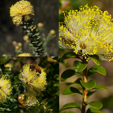 LARGE FLOWERED MELALEUCA (Melaleuca Megacephala) SEEDS 'Bush Tucker Plant'