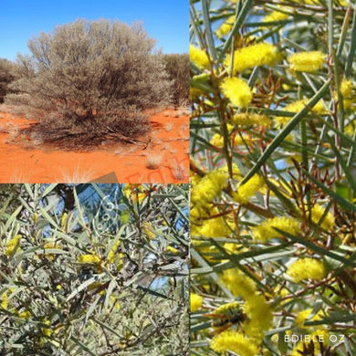 MULGA WATTLE (Acacia aneura) SEEDS 'Bush Tucker Plant'