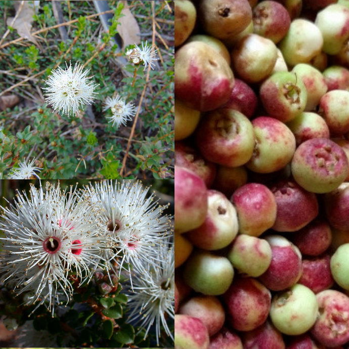 'MUNTRIES' NATIVE CRANBERRY (kunzea pomifera) SEEDS 'Bush Tucker Plant'