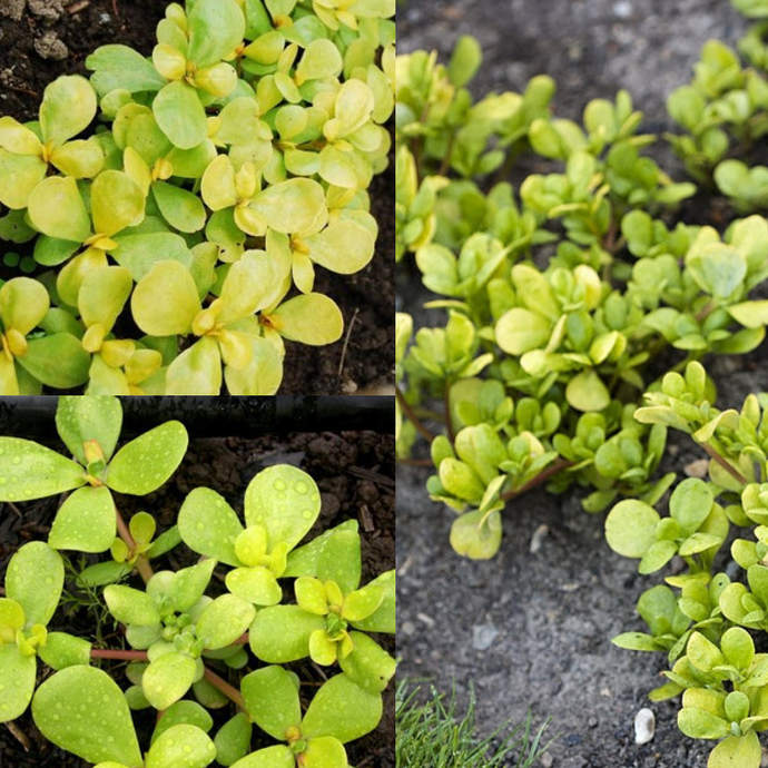 PIGWEED / PURSLANE 'GOLDEN' (Portulaca oleracea) SEEDS 'Bush Tucker Plant'
