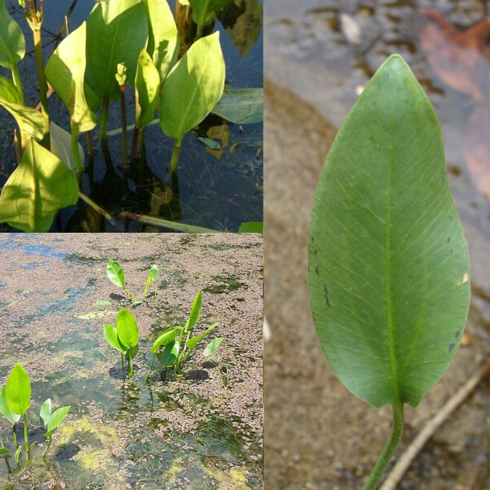 WATER PLANTAIN (Alisma plantago-aquatica) SEEDS 'Bush Tucker Plant'