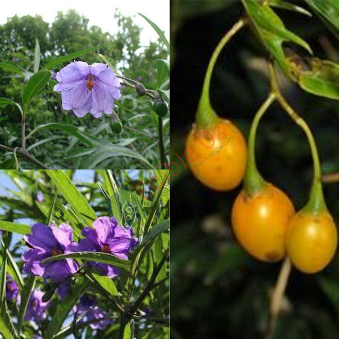 'PAM PLUM' KANGAROO APPLE (Solanum aviculare) SEEDS 'Bush Tucker Plant'