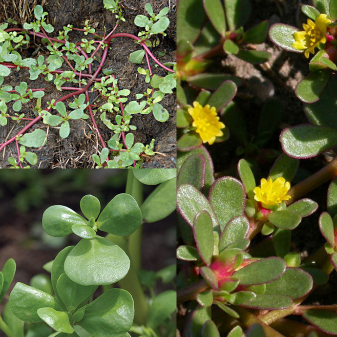 PIGWEED / PURSLANE (Portulaca oleracea) SEEDS 'Bush Tucker Plant'