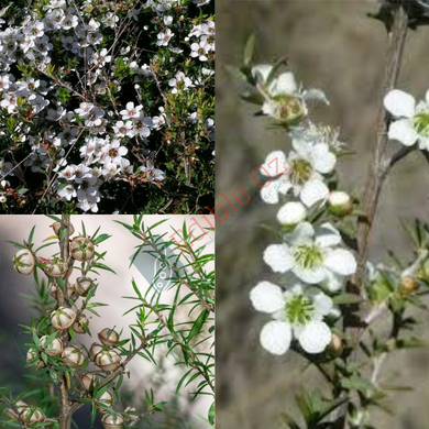 PRICKLY TEA-TREE (Leptospermum continentale) SEEDS 'Bush Tucker Plant'