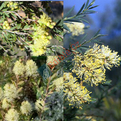 PUNGENT HONEY-MYRTLE (Melaleuca leiocarpa) SEEDS 'Bush Tucker Plant'