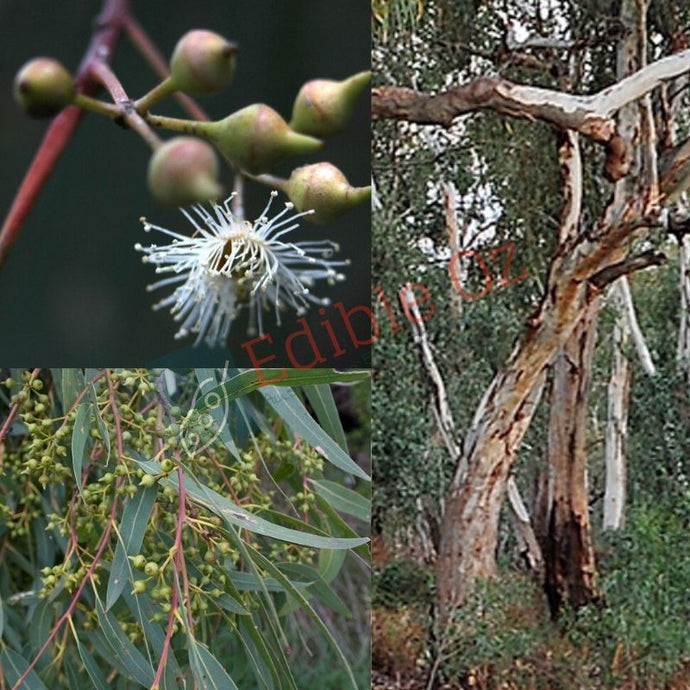 RIVER RED GUM (Eucalyptus camaldulensis) SEEDS 'Bush Tucker Plant'
