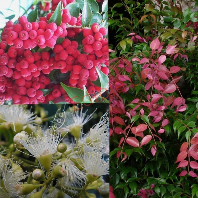 RIBERRY (Syzygium luehmannii) SEEDS 'Bush Tucker Plants'