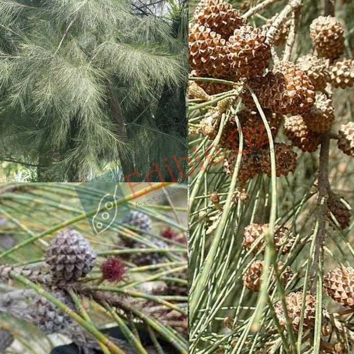 'BILAWI' RIVER SHE OAK (Casuarina cunninghamiana) SEEDS 'Bush Tucker Plant'