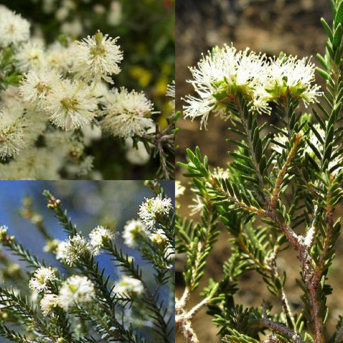 SOUTH AUSTRALIAN SWAMP  / SALT PAPERBARK (Melaleuca halmaturorum) SEEDS 'Bush Tucker Plant'