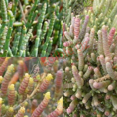 BLACKSEED SAMPHIRE (Tecticornia pergranulata) SEEDS 'Bush Tucker Plant'